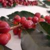 Impulsa Edomex la producción de café orgánico en foro regional
