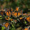 Exhortan proteger y restaurar reserva de la biósfera de la Mariposa Monarca