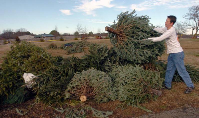 Recicla Metepec árboles de navidad naturales y ofrece composta y una planta a cambio