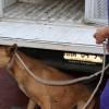 Entregan a protectora animal perros relacionados con ataque en Tecámac
