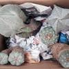 Decomisan cargamento de peyote en Tepotzotlán