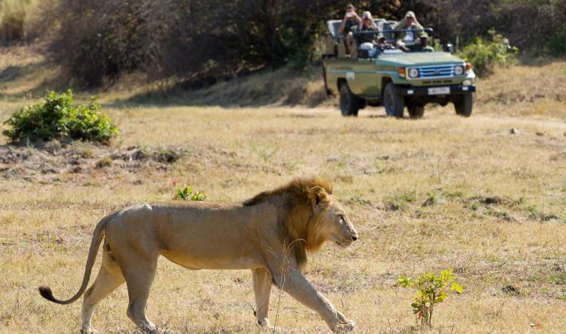 Escapan 14 leones de un parque en Sudáfrica