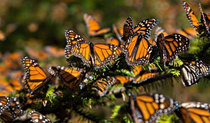 Llegaron a Edomex 100 millones de mariposas Monarca